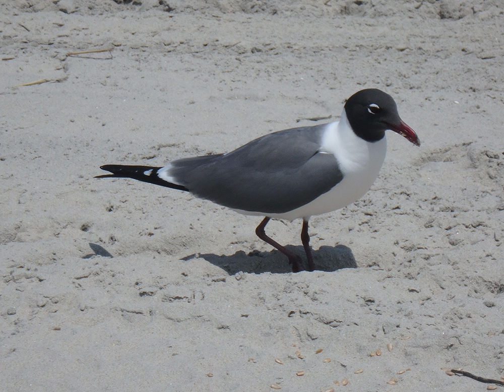 On Jersey Shore Beaches, Opportunistic Seagulls Get the Last